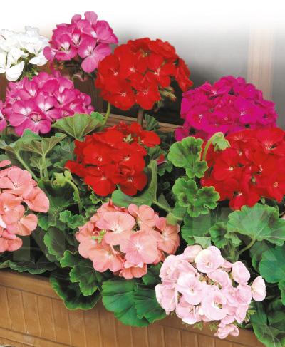 5183aac8ec154d Інтерфлора Україна : Пеларгонія садова суміш (0,1 г)